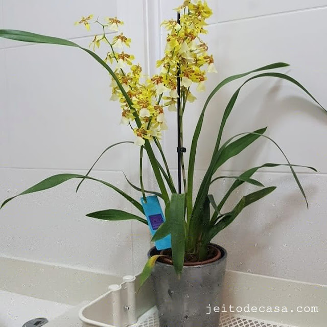 orquidea-amarela-perfumada