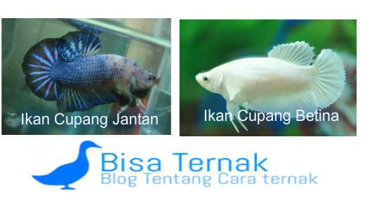 Gambar Ikan Cupang Jantan Dan Betina