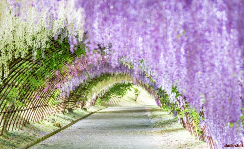 Wisata Kawachi Fuji Garden