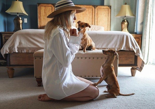 woman in white polo teaching two dachshund dogs in bedroom