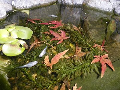 メダカ盆栽 もみじの葉 フラッシュ 水面の反射