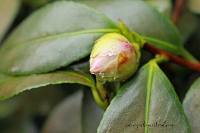 Camellia bud getting ready to blossom