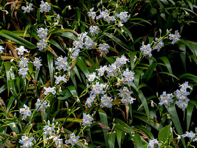 Shaga (Iris japonica) Flowers: Engaku-ji
