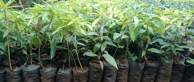 grafted apple mango seedlings for sale