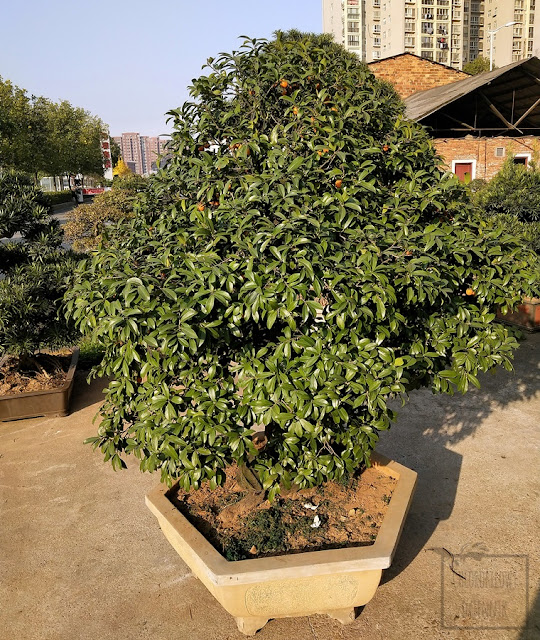 Diospyros cathayensis, cathay persimmon, persymona chińska, hurma chińska, mało znane rośliny owocowe, azjatyckie rośliny jadalne, ozdobne i na bonsai. TCM, czyli traditional chinese medicine, owoce w medycynie, mało znane, egzotyczne, rzadkie drzewa. Dendrologia chińska, botanika flora Chin i Azji. Ciekawostki dendrologiczne,