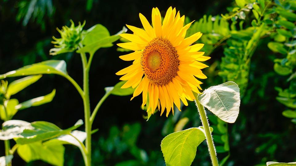 Wild Birds Unlimited Why Sunflower Heads Follow The Sun