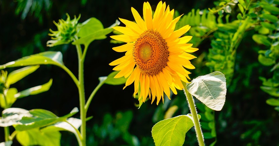 as the flowers of a sunflower track the sun they are exhibiting Sunflowers follow the sun when they are young before the flower buds open after that the flowers are stationary always facing east to the rising sun.