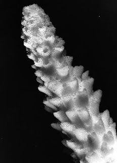 Coral ID Acropora Arabensis