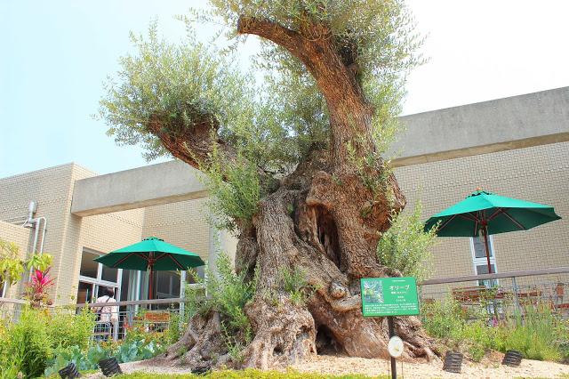 山口県、宇部市のときわ公園の植物園がリニューアルしたよ【Y】プラントハンター西畠清順、世界を旅する植物館  ヨーロッパゾーン、オリーブ