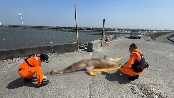 又傳海洋生態悲歌 彰化4天兩起鯨豚魂斷岸際
