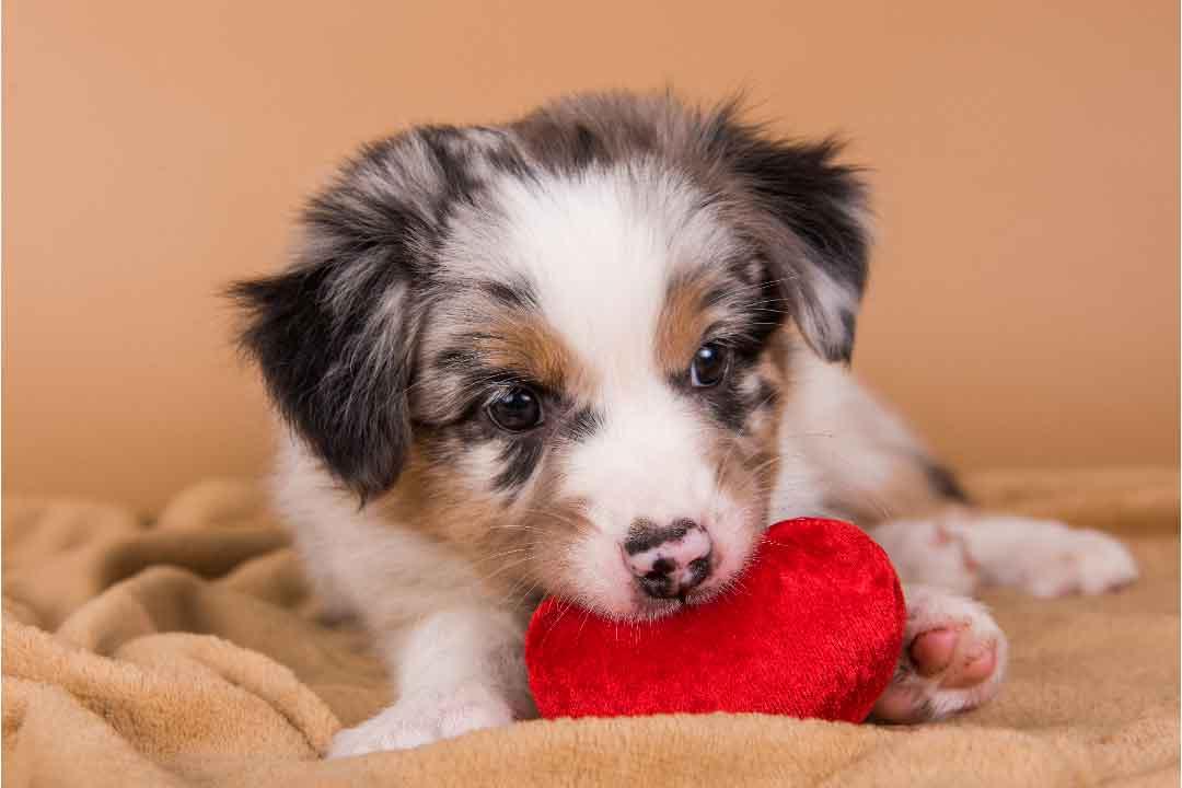 Beauceron ou Berger Australien - Quelle est la meilleure race de chien pour vous?