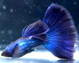 Harga ikan Guppy Blue Moskow