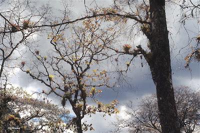bromeliads in tree