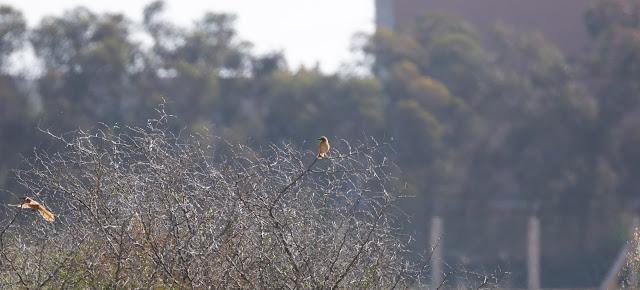 Fulvous Babblers - Taroudant, Morocco