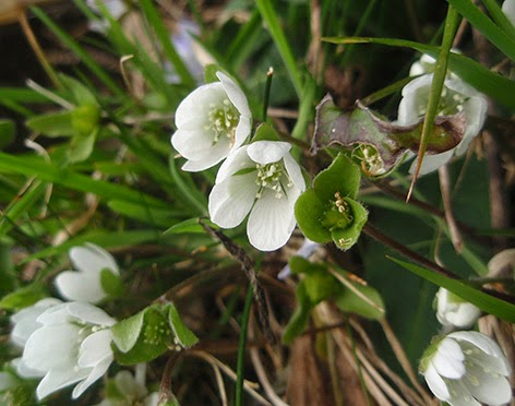Hépatica nobilis de flor blanca