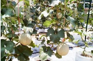 Perawatan melon hidroponik dengan sistem fertigasi
