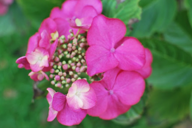 Picture of pink hydrangea flower