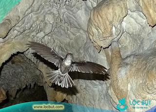 Chim yến sống trong hang động - tiếng chim yến tự nhiên.