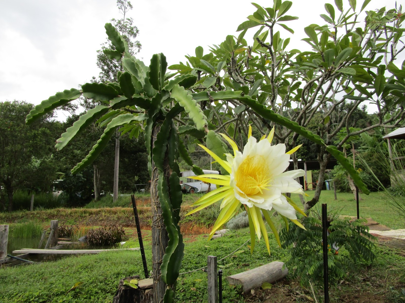 The dragon fruit flower