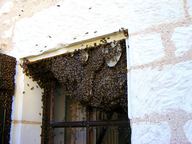Feral honey bee colony in a window, Indre et Loire, France. Photo by Loire Valley Time Travel.