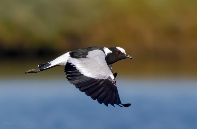 Blacksmith Plover flying from Left to Right - image Copyright Vernon Chalmers