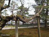 A valuable horizontal branch - Kenroku-en Garden, Kanazawa, Japan