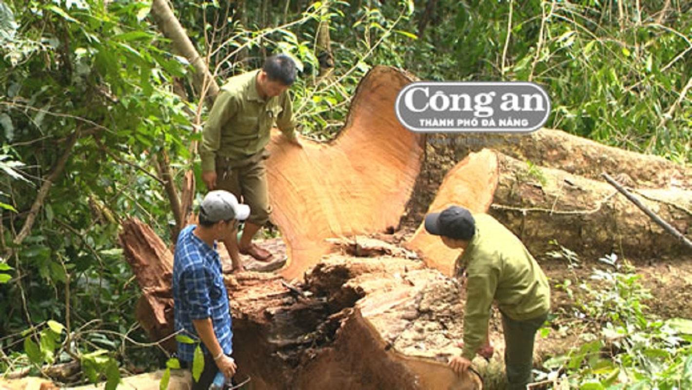 Gia Lai: Rừng hương trăm tuổi kêu cứu
