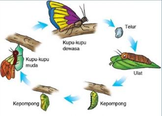 Daur Hidup Hewan kupu-kupu