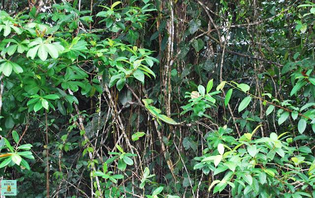 Basilisco en Tortuguero, Costa Rica
