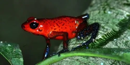 स्ट्रॉबेरी पॉइजन डार्ट फ्रॉग - Strawberry Poison Dart Frog