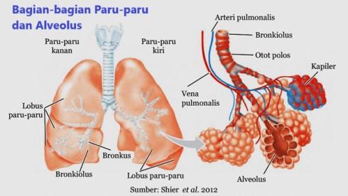 paru-paru terdiri atas lobus kanan dan kiri serta terdapat alveolus, paru-paru dibungkus oleh selaput pleura