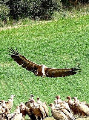 Buitre - vautour - vulture Sierra de Guara