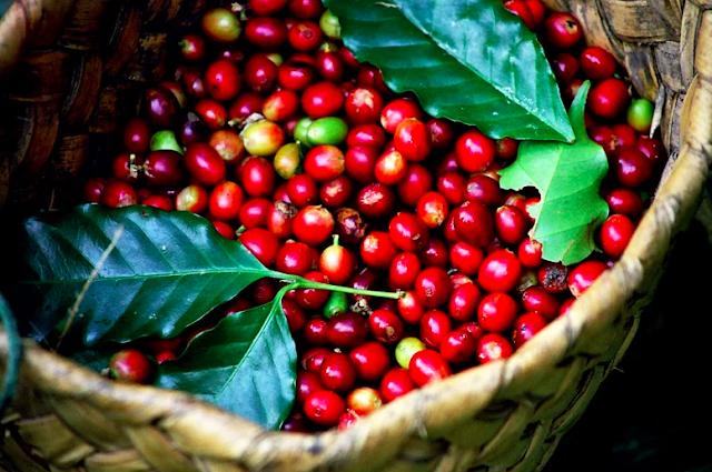 Giá cà phê hôm nay 15/6: Giảm mạnh 300đồng/kg