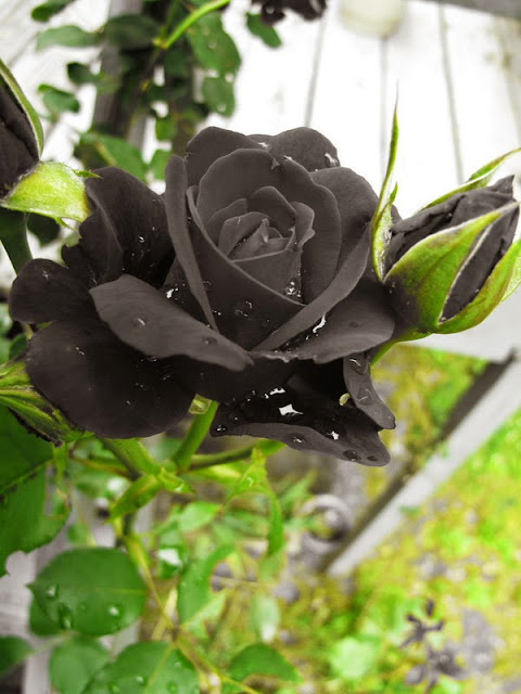 http://www.novelmelayukreatif.com/index.php/karya-kreatif/novel/cinta/item/1298-black-rose