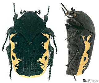 Escarabajo de las flores (Gymnetis podibunda)