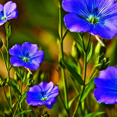 Flax sheed : benefits ,uses in hindi - alsi k fayde aur upyog