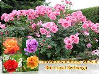 4 Cara Merawat Bunga Mawar Biar Cepat Berbunga