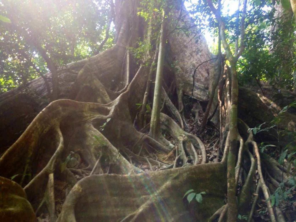 Fig tree roots guide