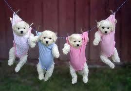 Quatro filhotes de poodles brancos estão pendurados em um varal, com as patinhas soltas a alguns centímetros da grama, eles estão de frente para nós, a frente de uma cerca de madeira. Todos estão dentro de roupinhas, presas por dois prendedores, um em cada ombro da roupa. Somente o segundo filhote da esquerda para direita usa roupa azul, os outros, em tons de cor de rosa.