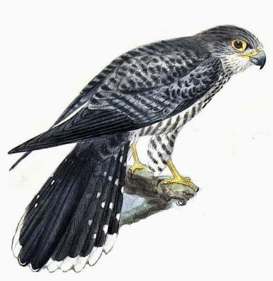 Cernícalo de bandas Falco zoniventris