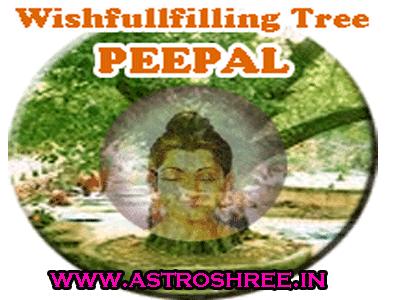 peepal tree totkay by astrologer