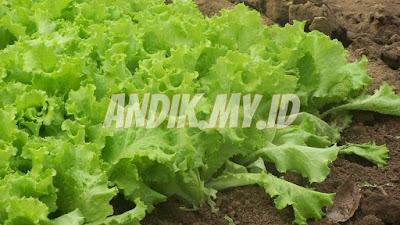 berkebun organik, tanaman organik, pertanian organik, berkebun