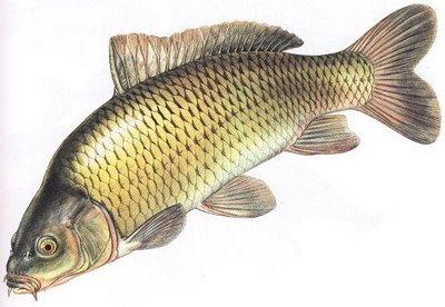 Gambar Foto Jenis Macam Nama Ikan Air Tawar Freewaremini