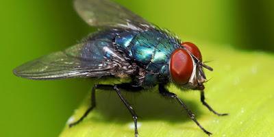 Masuk surga karena lalat