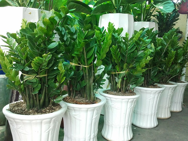 Nên trồng cây phong thủy để trong nhà nào giúp gia chủ hút tài lộc?