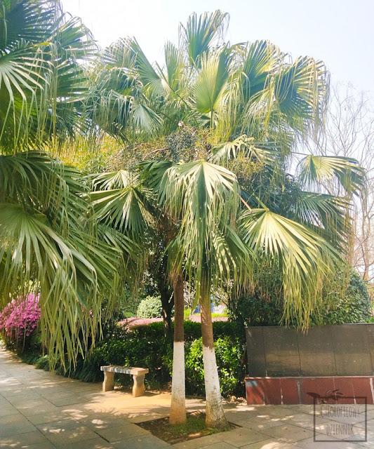 Liwistona chińska (Livistona chinensis) z nasion, czyli jak wysiać palmę z pestki w łatwy sposób, siew palm w domu w Polsce, jak siać liwistonę chińską, uprawa w doniczce, hodowla palm, ile, jak długo kiełkuje palma z siewu, jakie warunki, jaka temperatura, jak łatwo wysiać palmy mrozoodporne, siewki, dziwne nasiona, chińskie palmy i rośliny ozdobne z nasionek.