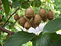 Xylocarp Fruit Images