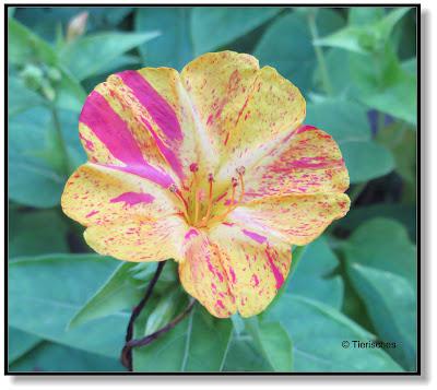 Blüte einer Wunderblume