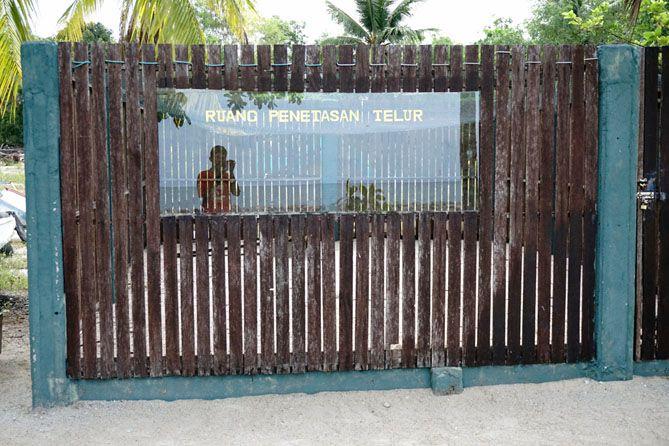 Tempat penetasan telur penyu milik Tukik Babel Sea Turtle Conservation