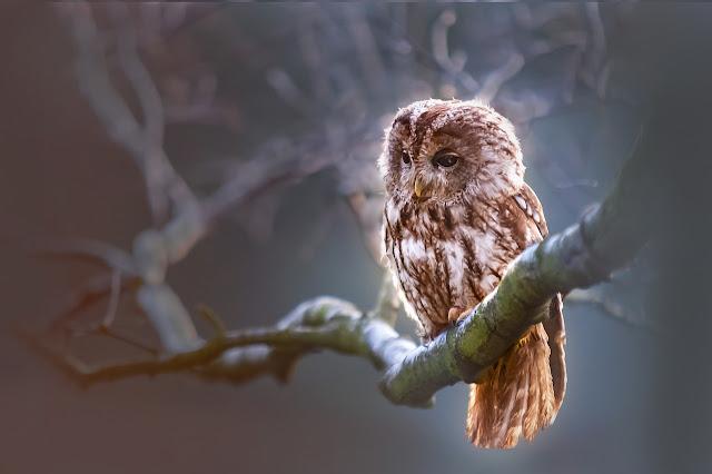 Mengenal Burung Hantu Beserta Manfaatnya